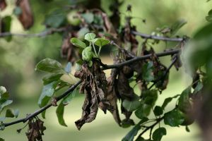 Apple_tree_with_fire_blight