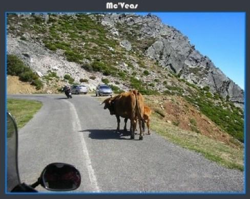 vacas en la subida a la cubilla