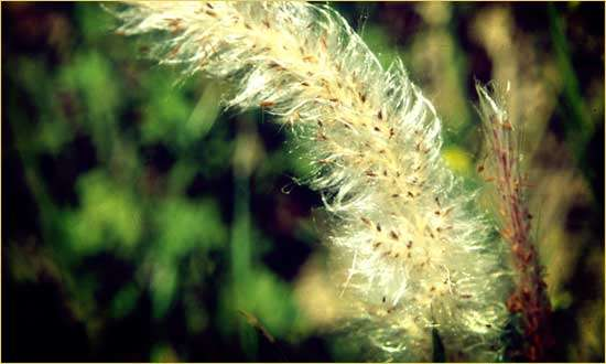 Cogongrass Mississippi Department Of Agriculture And