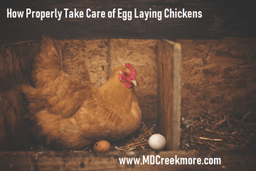 How Properly Take Care of Egg Laying Chickens