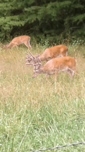 Deer at Cades Cove TN