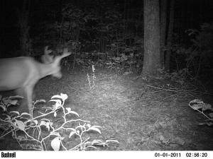 deer caught on camera