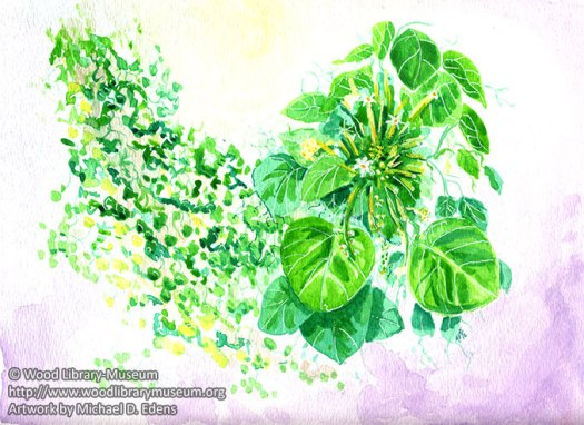 Chondrodendron Tomentosum (Curare) Watercolor Note Card