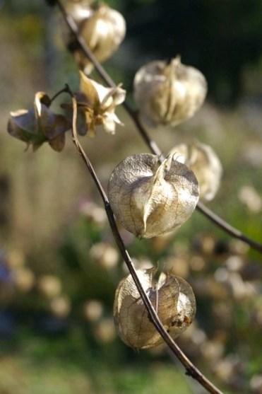 Rowan Willowind plant