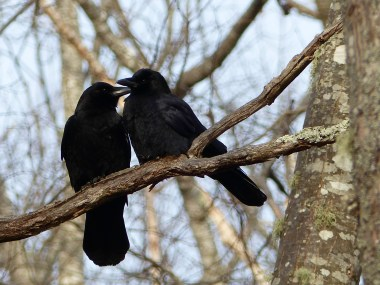 Crows Courting by Tammy Packie