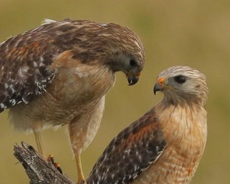 BABIES SOON Red Shouldered Hawk Pair, Stick Marsh, Vero Beach FL, John R Rivers