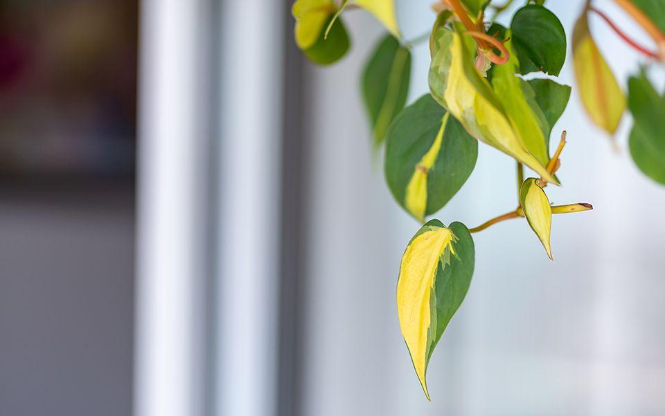 planta jibóia