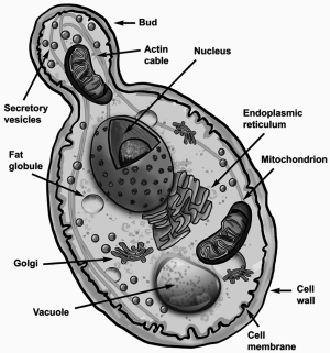 Beverages   Free FullText   Saccharomyces cerevisiae in