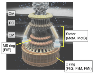 Biomolecules   Free FullText   Structure and Function of the BiDirectional Bacterial Flagellar