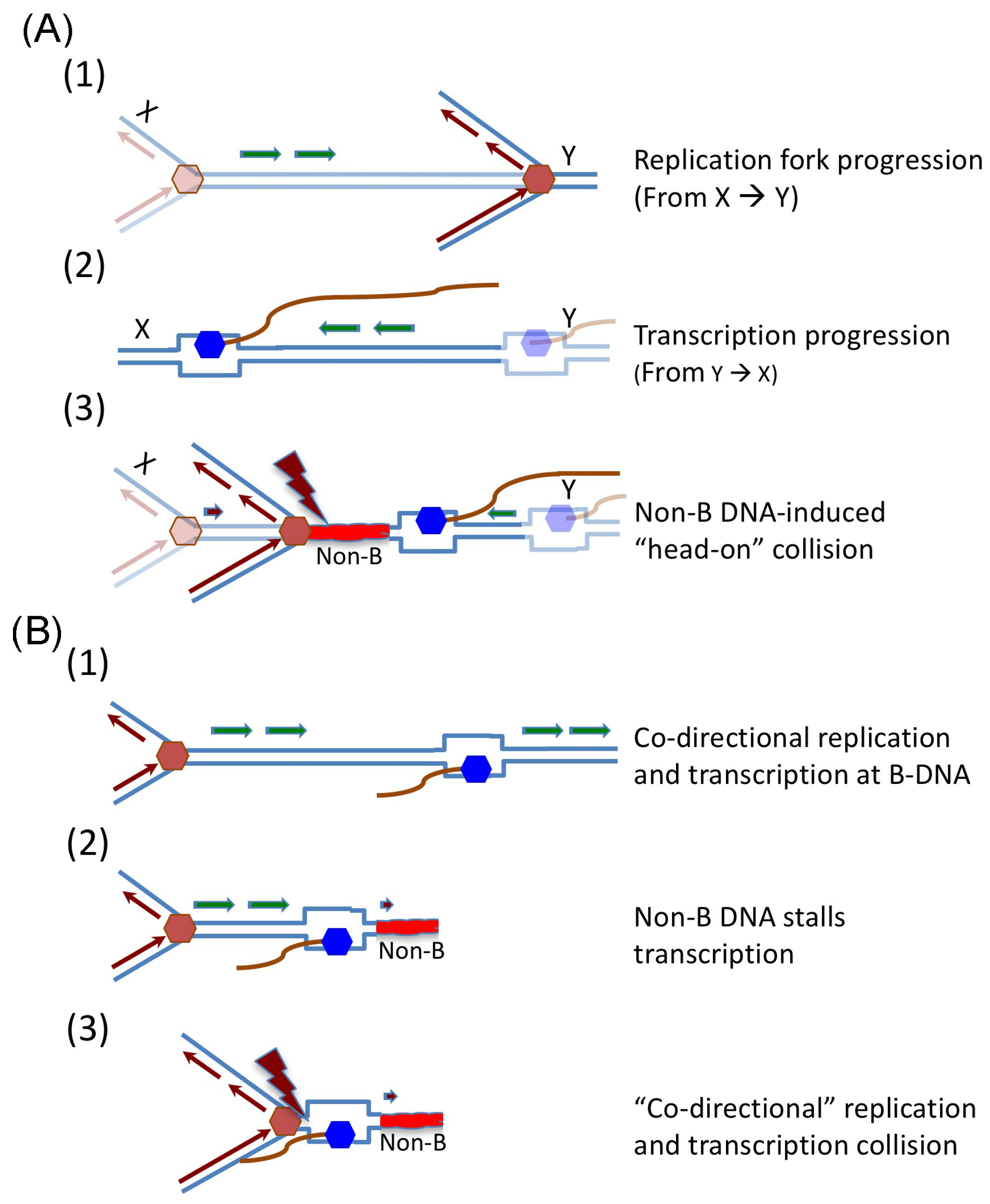 33 Label The Diagram Showing Dna Replication