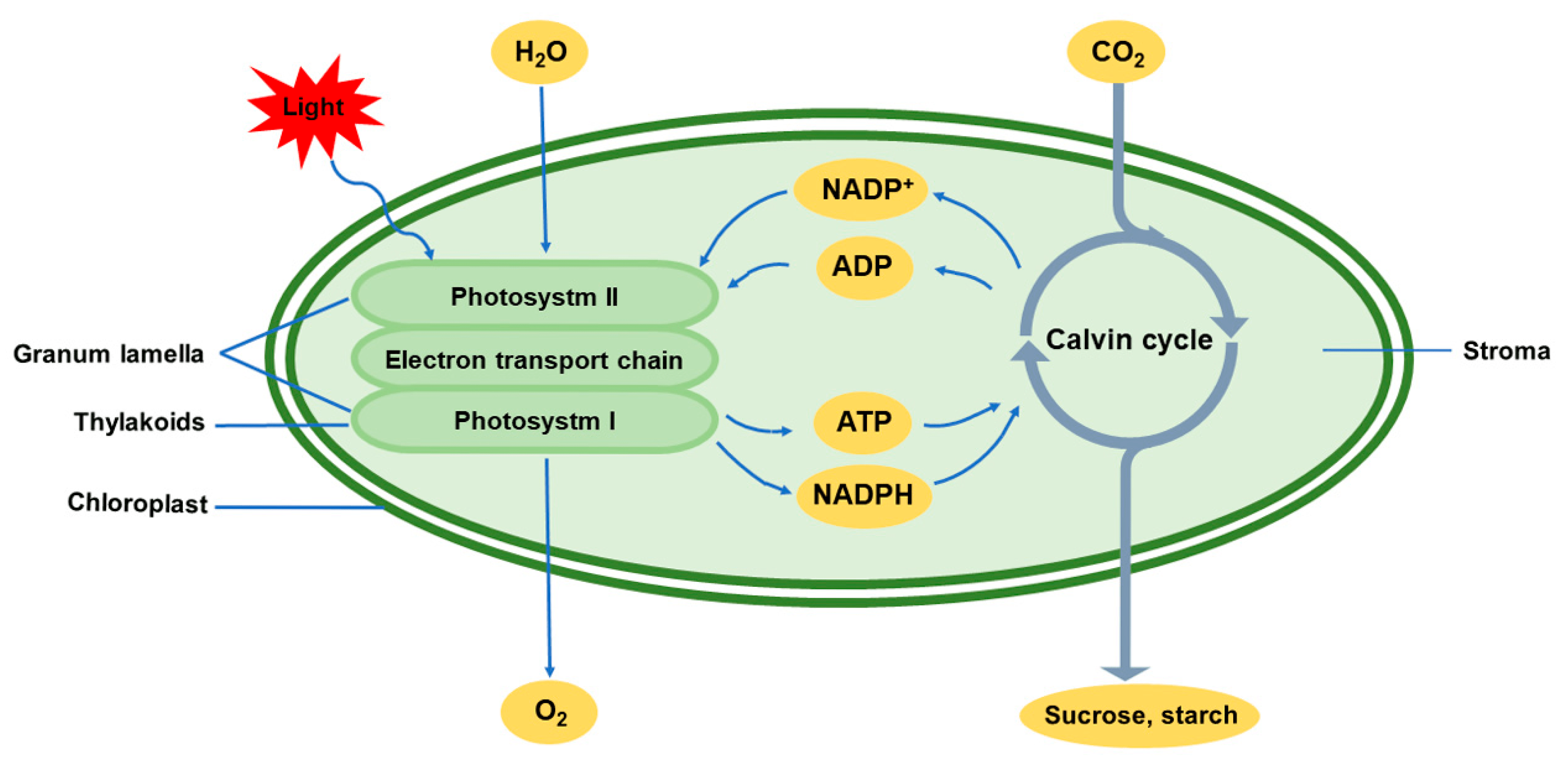 Diagram Chloroplast Photosynthesis