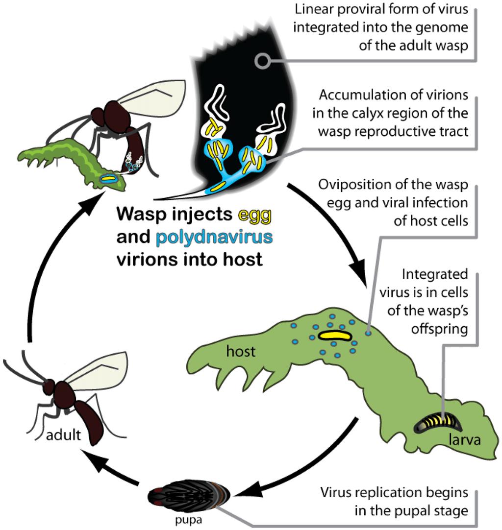 Wasp Life Cycle Of A Wasp