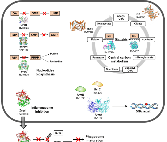 Innate Immunity And Early Responses To M Tuberculosis Infection