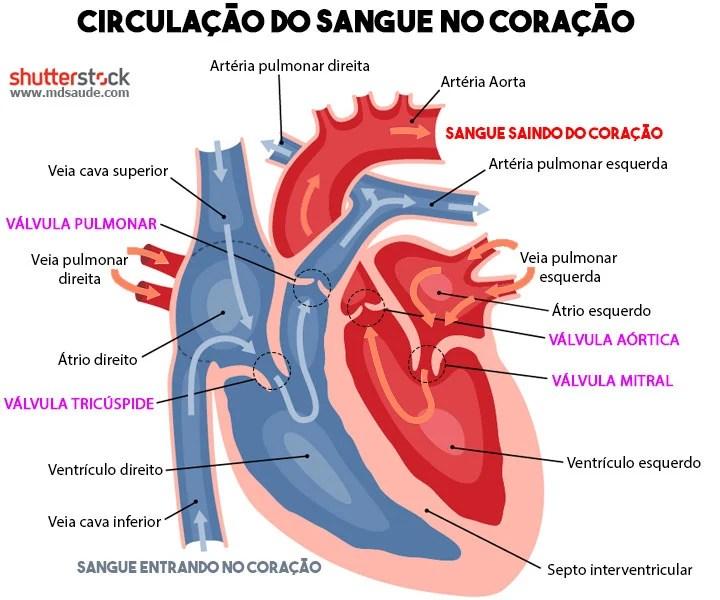 Anatomia do coração - como o sangue circula e como surge o sopro cardíaco