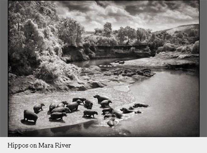 Hippos on Mara River (foto: Nick Brandt)