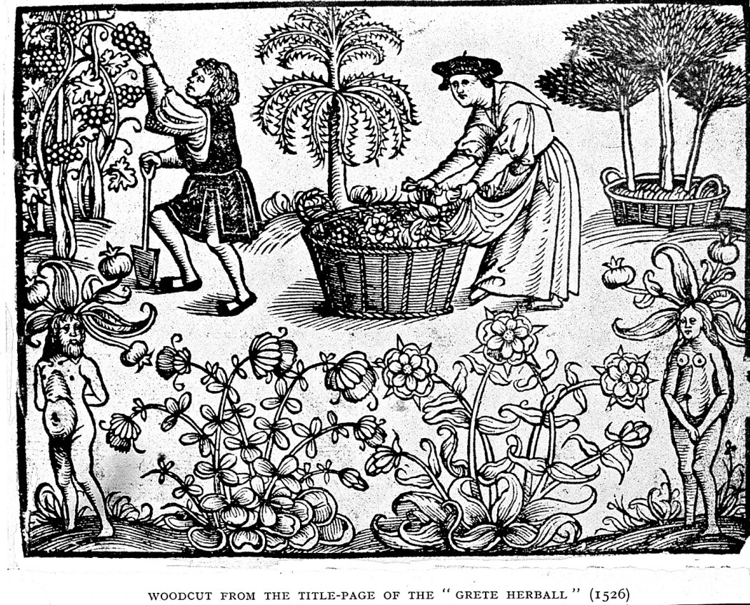 A black and white woodcut showing two people from the middle ages harvesting fruits and herbs in a garden. In the lower right and left corners are depictions of herbs as men and women. Woodcut from the title page of the Grete Herball 1526