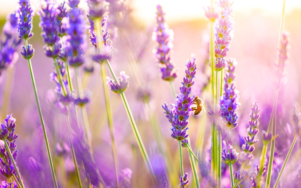 Bees enjoying tall purple spears of lavender in the setting sun. Lavender is a tradition flower used in smoking blends.