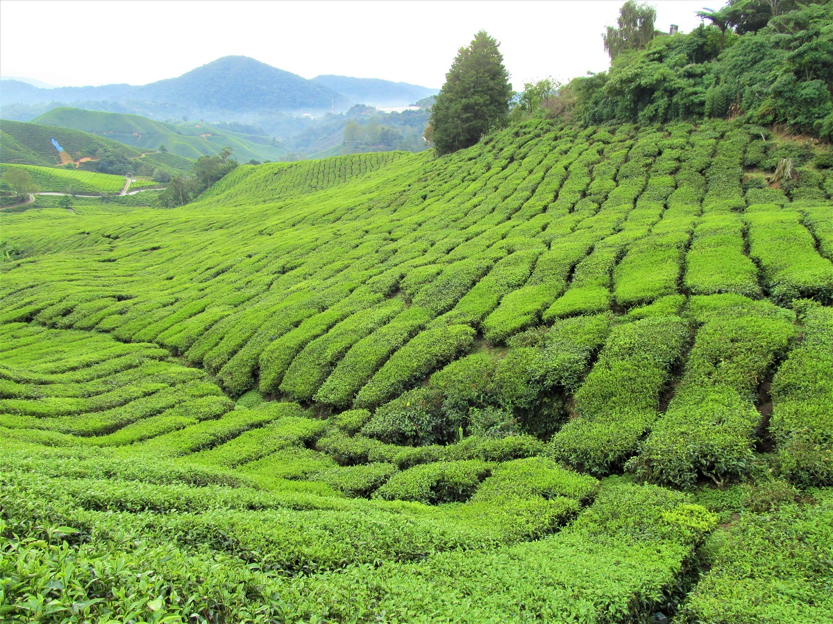things to do in the Cameron Highlands tea plantation