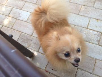 Twin Number 1, Pomeranian, Sawyer Brown