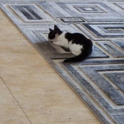 Kitty Kat Black….and White Returns!