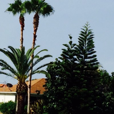 Pine Trees in Florida!