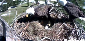 This is a pic I got last night from the eagle cam as Ozzie and Harriet switched places.  you can see the two eggs.