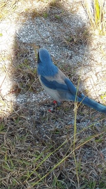blue bird24