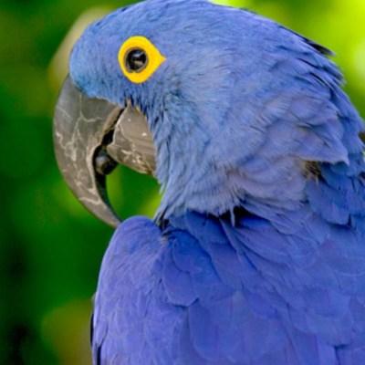 The Blue Bird of Happiness…Florida Scrub-Jay!