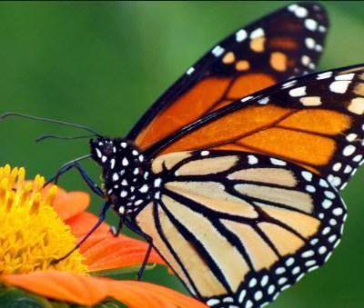La Mariposa Monarca, The Monarch Butterfly!