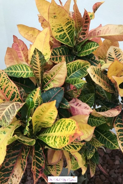 Croton Plant with leaves of red and gold
