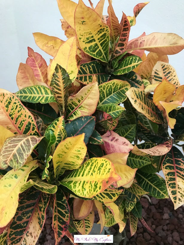 Croton Plant with leaves red gold and green
