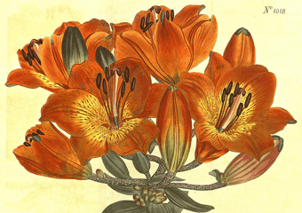 Painted Flower from Curtis' Botanical Magazine, 1807