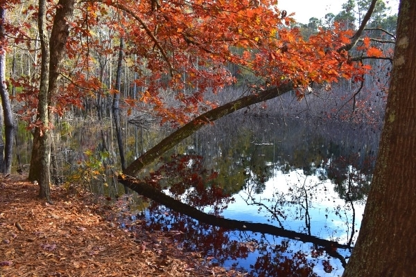 Orange leaved tree reflected in sinkhole pond in Santee State Park in South Carolina