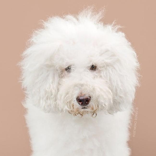 cabeleireiros-e-o-dom-de-deixar-um-cachorro-irreconhecivel11