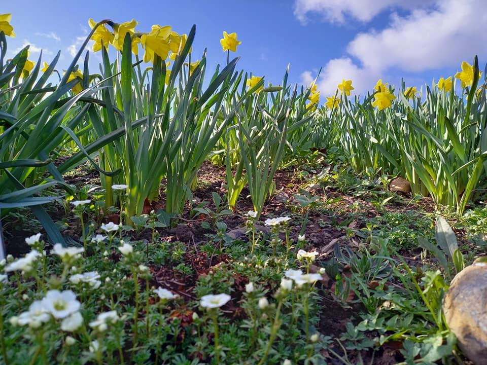 Julianstown Daffodil Garden