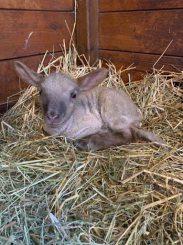 Lammetjes geboren bij de eerste lentedagen
