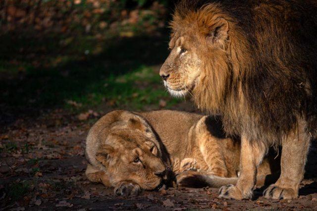 Leeu Jari en leeuwin Lorena kersverse ouders in ZOO Planckendael