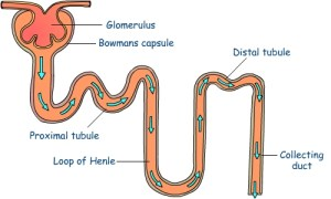 What Are the Functions of Nephron? | MedHealth