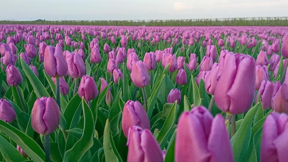 Tulpen in het veld bij Hem - Foto Wesley Boots