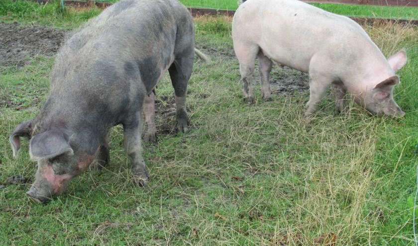 Het buitenverblijf van de varkens is in juli uitgebreid. Ze hebben nu meer ruimte om te scharrelen. ((Foto: aangeleverd))