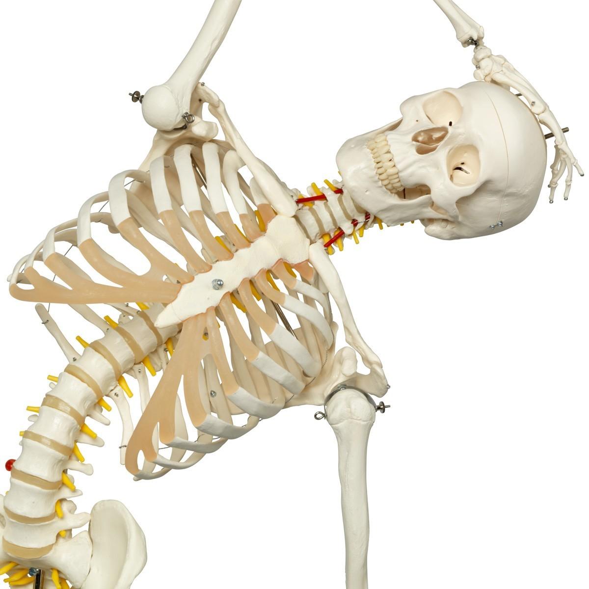 3b Scientific A15 Skeleton Model