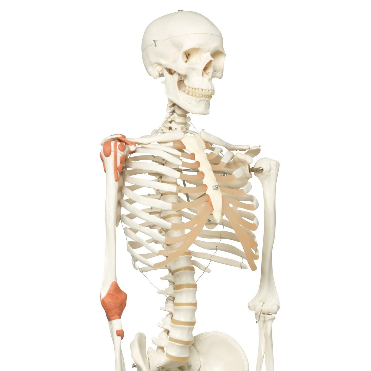 3b Scientific A12 Human Skeleton Mo