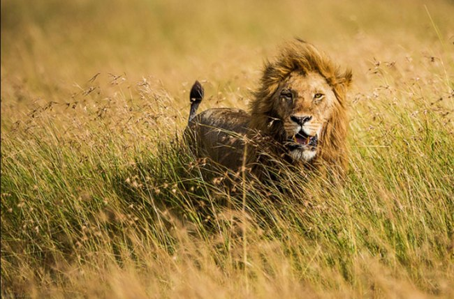 African Animal Photography Lion King