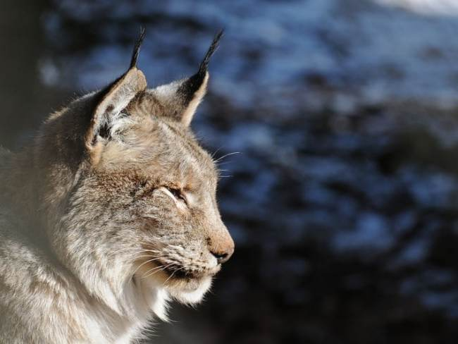 Strange sound by a Rare Lynx shocked the Researchers