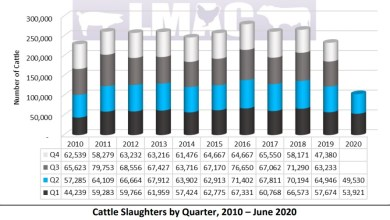 Photo of Zimbabwe: cattle slaughters down 16% in H1 on tough environment