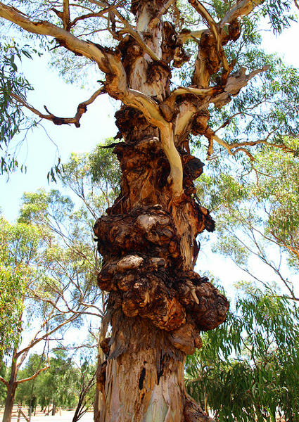 Gnarled Gumtree