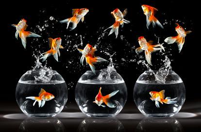 ماهی قرمز ( Gold Fish )
