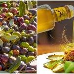 CIA Savona, annata record per l'olivicoltura del ponente ligure