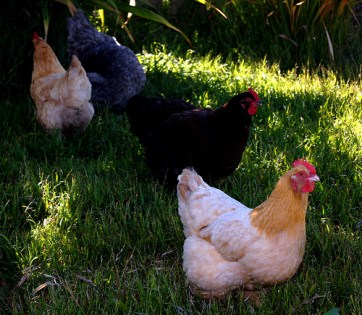 Police arraign two men for stealing Senator's chickens