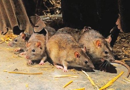 Lassa fever kills three in Delta, 24 under surveillance